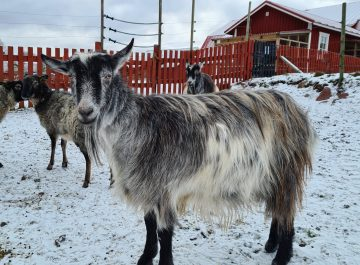 Vinterhälsningar från djuren på Ålands 4H-gård featured image